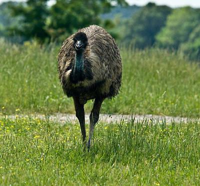 Ostrich Photograph - Wanding Ostrich by Douglas Barnett