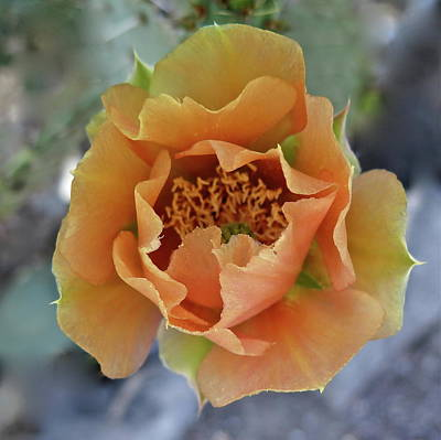 Prickly Rose Photograph - Waning Desert Rose by Bonnie See