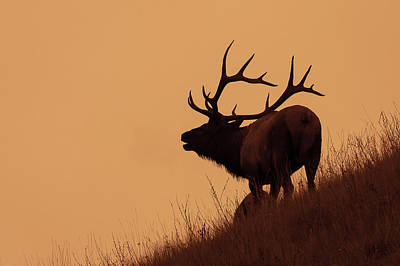 Photograph - Wapiti Dawn by Jack Bell