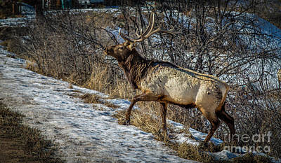 Photograph - Wapiti by Jon Burch Photography