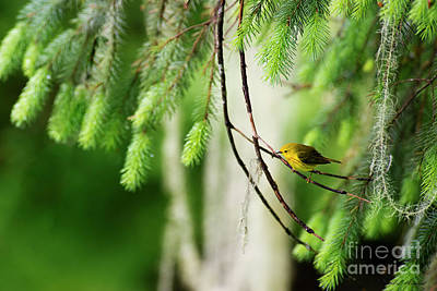 Photograph - Warbler by David Arment
