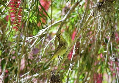 Photograph - Warbler In The Bottlebrush by William Tasker