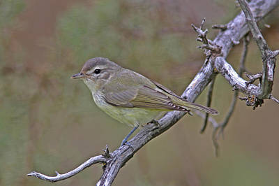 Grey Photograph - Warbling Vireo by Gary Wing