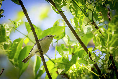 Photograph - Warbling Vireo - Magee Marsh, Ohio by Jack R Perry