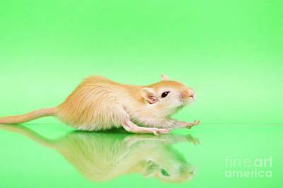 Gerbil Photograph - Warm And Cute 4 by Svetlana Svetlanistaya