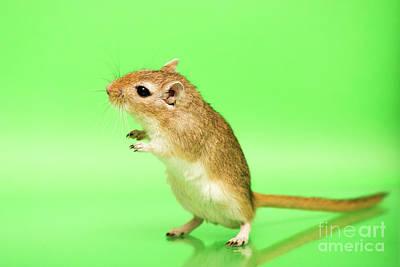 Gerbil Photograph - Warm And Cute 5 by Svetlana Svetlanistaya