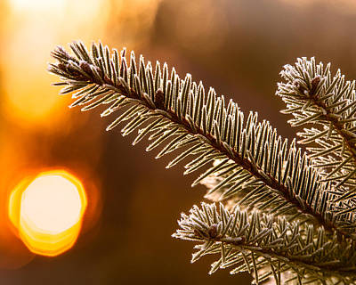 Photograph - Warm Frost On Pine Needles by Chris Bordeleau
