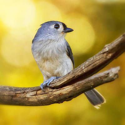 Titmouse Digital Art - Warm Morning Titmouse by Bill Tiepelman