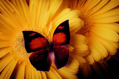 Gerbera Daisy Photograph - Warm Red Black Butterfly by Garry Gay