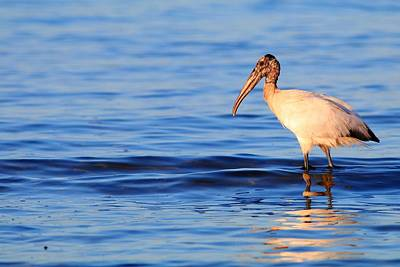 Photograph - Warm Summer Day And A Wood Stork Wades  by Carol Montoya