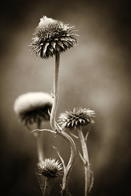 Photograph - Warm Thistle by Marilyn Hunt