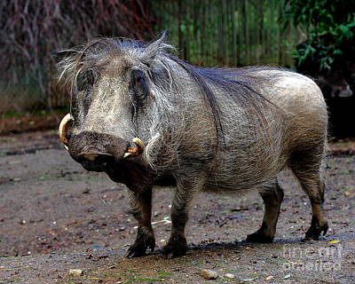 Wings Domain Photograph - Warthog 2 by Wingsdomain Art and Photography