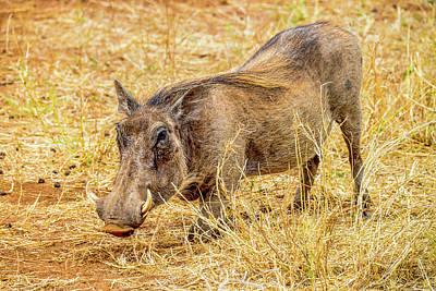 Photograph - Warthog by Marilyn Burton