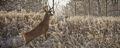 Photograph - Wary Buck by Albert Seger