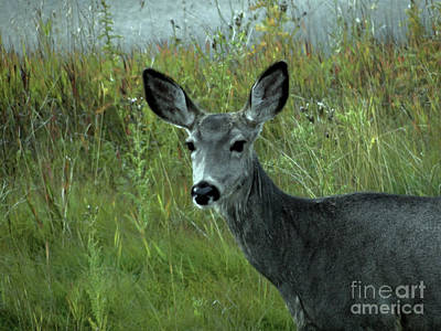 Photograph - Wary Doe by Al Bourassa