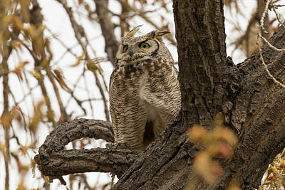 Photograph - Wary Female Great Horned Owl by Tony Hake
