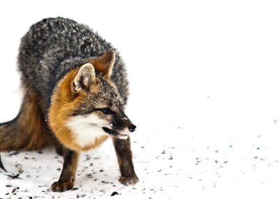 Bath Time Rights Managed Images - Wary Red Fox Royalty-Free Image by Douglas Barnett