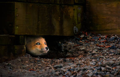 Dan Beauvais Royalty-Free and Rights-Managed Images - Wary Red Fox Kit 6204 by Dan Beauvais