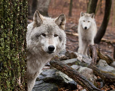 Photograph - Wary Wolves by Jim DeLillo