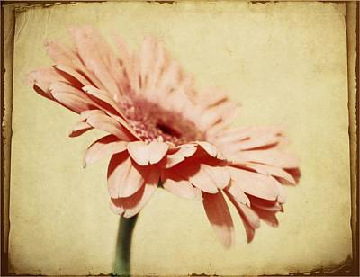 Gerber Daisy Photograph - Washed by Cathie Tyler