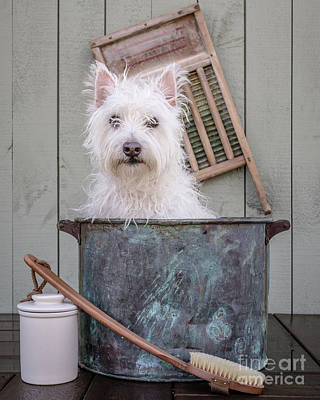 West Highland White Terrier Photograph - Washing The Dog by Edward Fielding