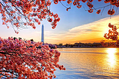 Cherry Blossom Tree Photograph - Washington Cherry Tree Sunrise by Olivier Le Queinec