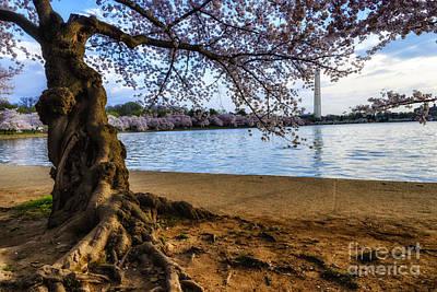 Cherry Blossoms Digital Art - Washington Monument Cherry Blossoms by Thomas R Fletcher
