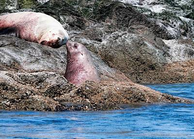 Photograph - Washington Sea Lions by Dan Sproul