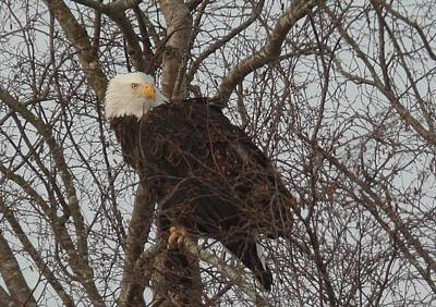 Photograph - Washington State Eagle by Karen Molenaar Terrell