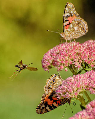 Photograph - Wasp And Painted Ladies..... by Paul Vitko
