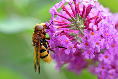 Photograph - Wasp At Work by Nadia Sanowar