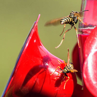 Photograph - Wasp Attack.... by Paul Vitko