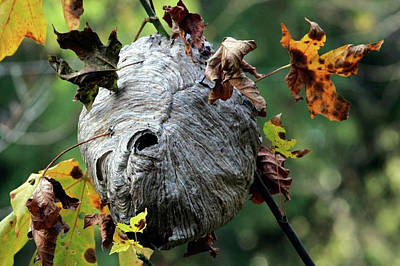 Wasp Nest Photograph - Wasp Nest by Randall Ingalls
