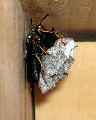 Photograph - Wasp On Nest by George Jones