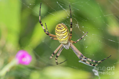 Photograph - Wasp Spider - Argiope Bruennichi by Jivko Nakev