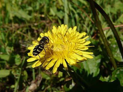 Photograph - Wasp Visiting Dandelion by Valerie Ornstein