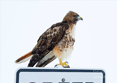 Red Tail Hawk Wall Art - Photograph - Watcher by Mike Dawson