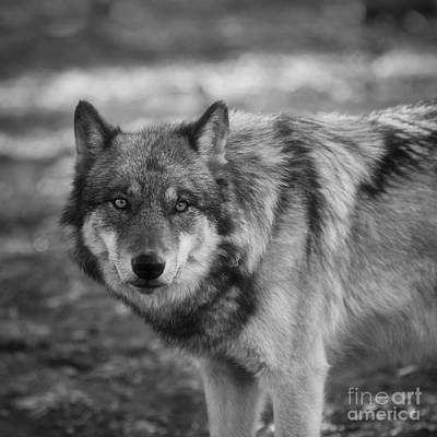 Timber Wolf Photograph - Watchful by Ana V Ramirez