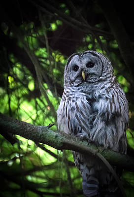 Photograph - Watchful Barred Owl by Keith Boone