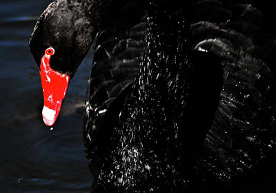 Photograph - Watchful Black Swan by Miroslava Jurcik