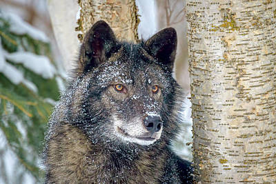 Photograph - Watchful Black Wolf by Jack Bell
