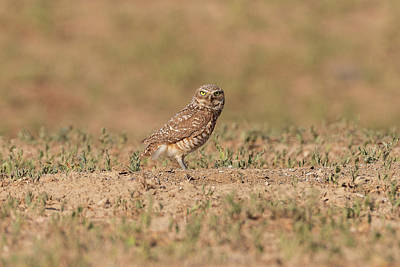 Photograph - Watchful Burrowing Owl by Tony Hake