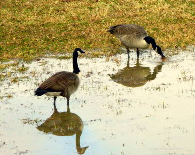 Photograph - Watchful Canada Geese by Kathy Barney