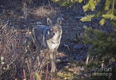 Photograph - Watchful Coyote by C