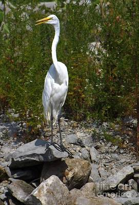 Photograph - Watchful Egret by Sara Raber