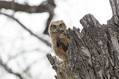 Photograph - Watchful Great Horned Owl Owlet by Tony Hake