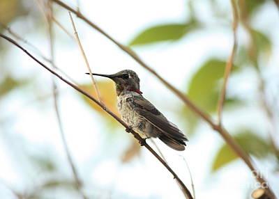 Photograph - Watchful Hummingbird by Carol Groenen