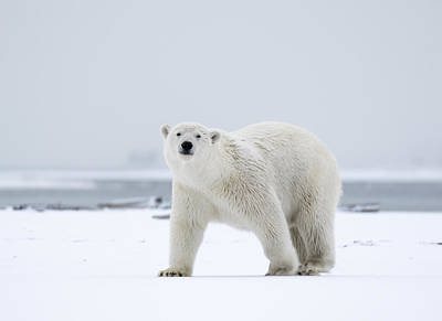 Watchful In The Arctic Art Print