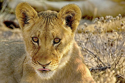 Photograph - Watchful Lion Cub  by Kay Brewer