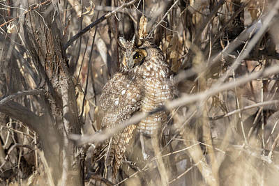 Photograph - Watchful Long Eared Owl Stays Well Hidden by Tony Hake
